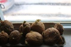 Patate di Chitting davanti ad un davanzale ciò contribuisce a sviluppare le radici per crescere fotografia stock