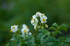 Patate di fioritura Fotografie Stock Libere da Diritti