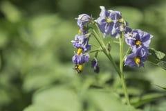 Patate di fioritura Immagini Stock