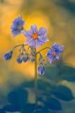 Patate di fioritura nel giardino Fiori delle patate closeup Fotografie Stock