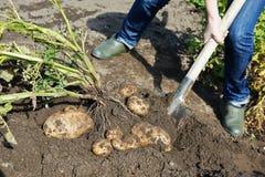 Patate di scavatura sulla terra Fotografie Stock Libere da Diritti