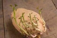 Patate douce avec le nouvel élevage de pousses Photographie stock libre de droits