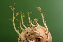 Patate douce avec le nouvel élevage de pousses Photos stock