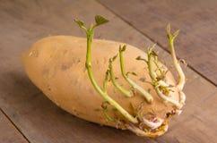 Patate douce avec le nouvel élevage de pousses Image libre de droits