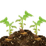 plante de pomme de terre photo stock image 9586270. Black Bedroom Furniture Sets. Home Design Ideas