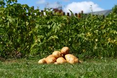 Patate fresche Fotografia Stock