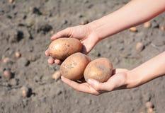 Patate fresche in mani del ` s dell'agricoltore Raccolta delle patate Immagini Stock