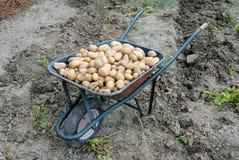 Patate organiche in una riga della barra di rotella Immagine Stock Libera da Diritti