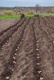 Patate in scatole per piantare Piantatura delle patate sulla sua terra nel villaggio immagini stock libere da diritti