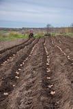 Patate in scatole per piantare Piantatura delle patate sulla sua terra nel villaggio immagini stock