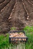 Patate in scatole per piantare Piantatura delle patate sulla sua terra nel villaggio immagine stock libera da diritti