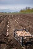 Patate in scatole per piantare Piantatura delle patate sulla sua terra nel villaggio immagine stock