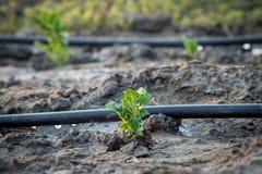 Patate sui precedenti di un'irrigazione di goccia Fotografie Stock Libere da Diritti