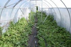 Patate in una serra Coltivazione delle patate novelle nel g Fotografia Stock Libera da Diritti