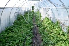 Patate in una serra Coltivazione delle patate novelle nel g Immagini Stock