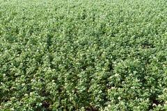 Patato fält i sommar arkivbild