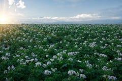 Patato field Royalty Free Stock Photo