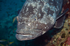 patato grouper Стоковое Изображение