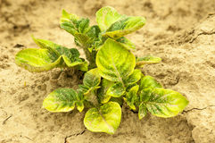 Patato. Potato plant in the dry brown ground royalty free stock image