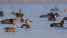 Patauger femelle et masculin de canards Images libres de droits