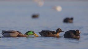 Patauger femelle et masculin de canards Photos libres de droits