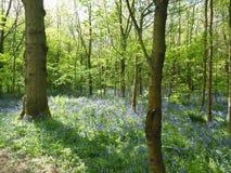 Bluebells between trees Stock Photo