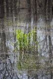Patch of Bog Grass. Patch of bright green grass growing in a bog stock photos