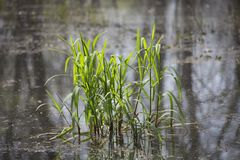 Patch of Bog Grass. Patch of bright green grass growing in a bog stock images