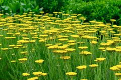 A close-up photo of a patch of bright yellow Tanacetum, sunny and cheerful flowers used in traditional medicine royalty free stock photography