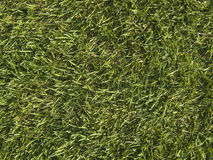 Patch of coarse grass. Close-up of patch of thick grass on a golf course or field Royalty Free Stock Photography