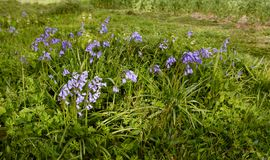 Patch of common bluebells growing in springtime stock photo