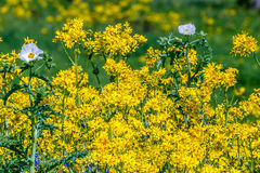A Patch of Cut Leaf Groundsel with White Poppy Flowers Stock Photography