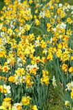 Patch of daffodils Royalty Free Stock Photography
