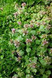 Patch of dead nettle with small purple flowers Stock Image
