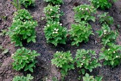 Patch flowering bushes of strawberries Royalty Free Stock Photos