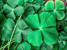 A patch of four leaf clovers in focus Royalty Free Stock Images