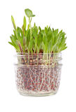 Patch of Grass Growing in a Glass Jar #1 Stock Photo