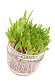 Patch of Grass Growing in a Glass Jar #2 Stock Photos