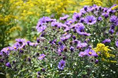 Patch of lavender flowers Royalty Free Stock Image