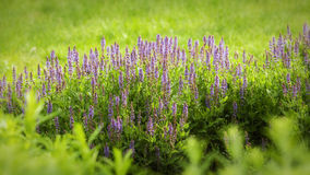 A Patch of Lavender. A small patch of lavender flowers Royalty Free Stock Images