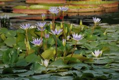 Patch of Lilac Water Lilies in Pond - Nmyhaea Nouchali royalty free stock photography