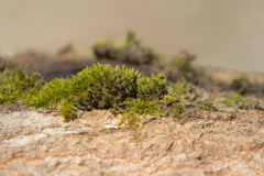 A patch of moss Royalty Free Stock Photos