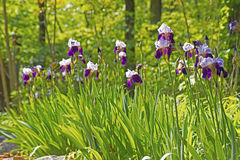 Patch of purple Iris blooming. Stock Photos