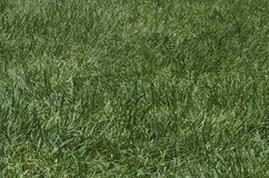 Patch of rough green grass Royalty Free Stock Photography