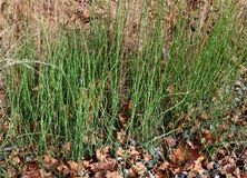 Patch of scouring rush horsetail ferns. A group of rough horsetail ferns Equisetum hyemale grows on a sandy hillside in western Pennsylvania. Also known as Royalty Free Stock Photography