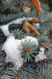 Patch of snow. A patch of snow and rusty leaves on a fir branch Stock Photos