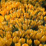 A patch of sping crocuses Royalty Free Stock Photos