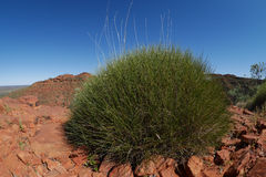 Patch of spinifex Stock Photo