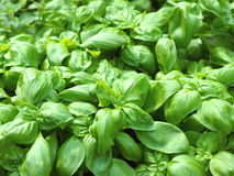 Patch of sweet green basil. Stock Photo