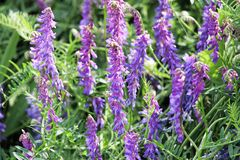 A patch of tufted vetch flowers in the spring royalty free stock photos